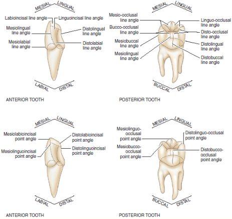 tooth angles top line angles bottom point angles