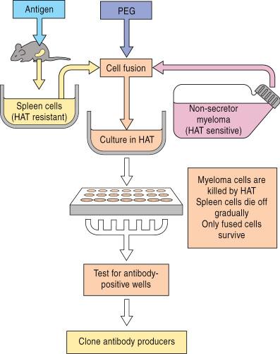 monoclonal antibody production