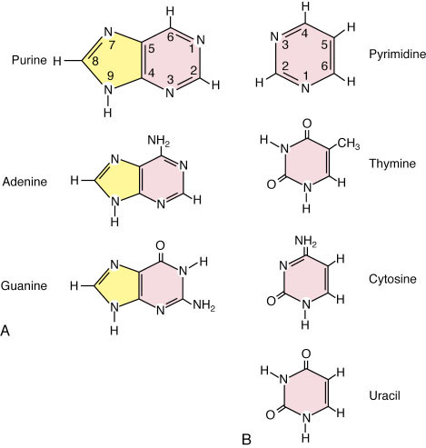 purine bases