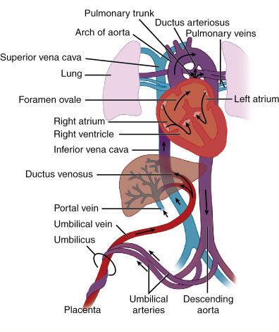 Fetal circulation ccuart Image collections