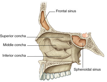 This image shows the location and structure of the ethmoid bone. A small  image of