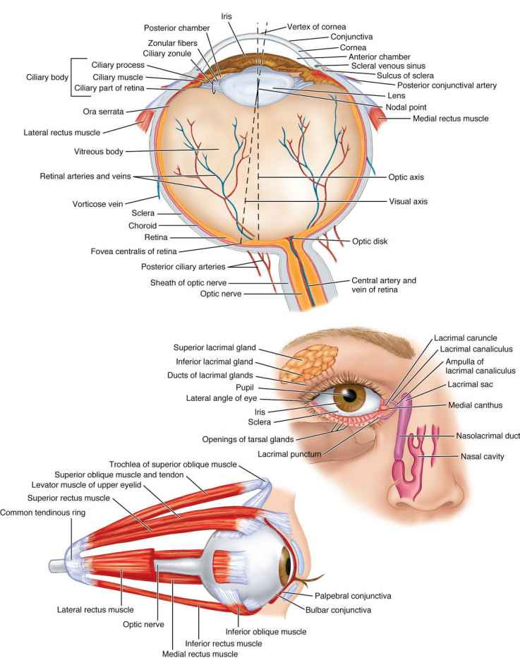 Nerves in the eye gallery human internal organs diagram nerves in the eye choice image human internal organs diagram ccuart Gallery