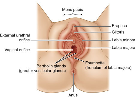 External sex organ