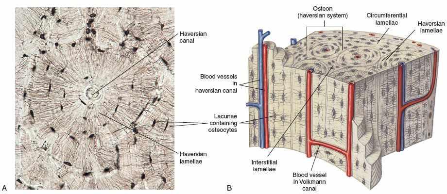 bone lacuna