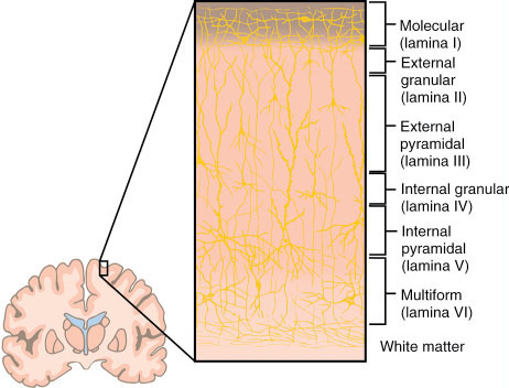 Cerebral Cortex Layers