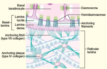 basement membrane comprising the lamina lucida and lamina densa