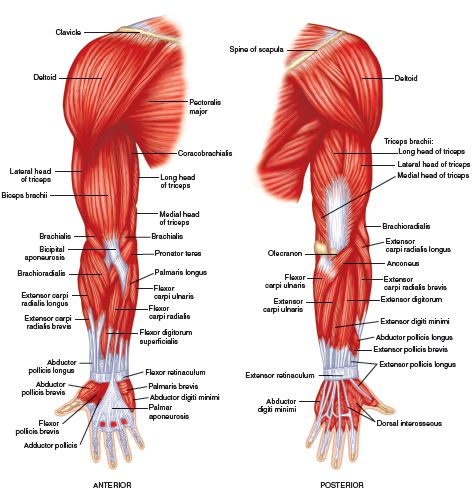 Muscles Of The Upper Limb | New Calendar Template Site